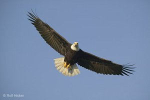 fly like an eagle, Bald Eagle, Haliaeetus leucocephalus, Alaska, Homer, USA